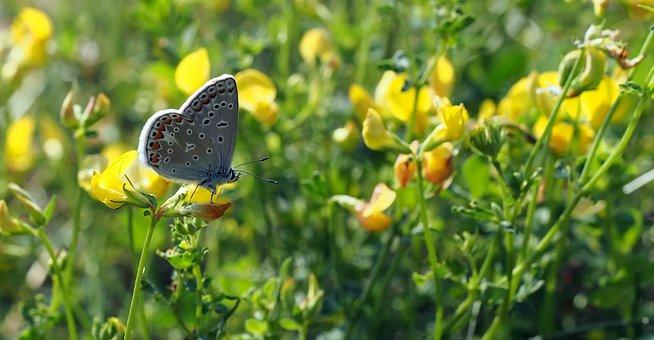Spring Meadow, Common Blue, Hauhechel, Butterflies