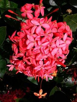 Flower, Red, Nature, Germanium