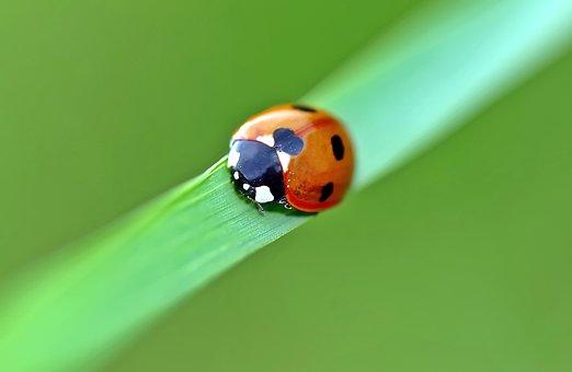 Ladybug, Lucky Ladybug, Marguerite, Luck, Leaves