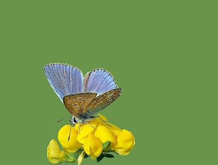 Common Blue, Hauhechel, Males, Polyommatus Icarus