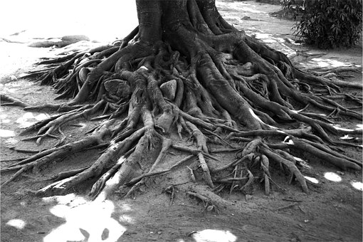 Tree, Roots, Black And White