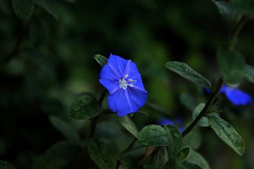 Blue Flower Cerrado, Blue Flower, Blue, Garden, Nature