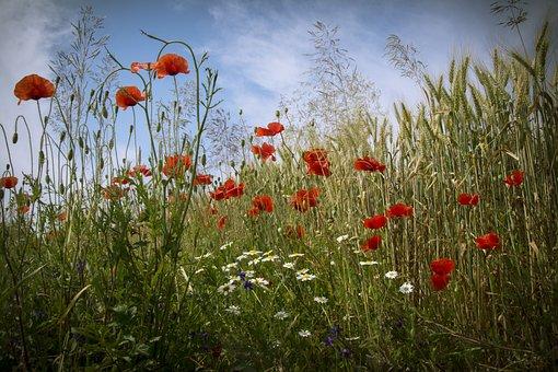 Poppy, Flowers, Field, Nagykanizsa
