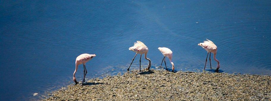 Flamingos, Birds, India, Flock, Water