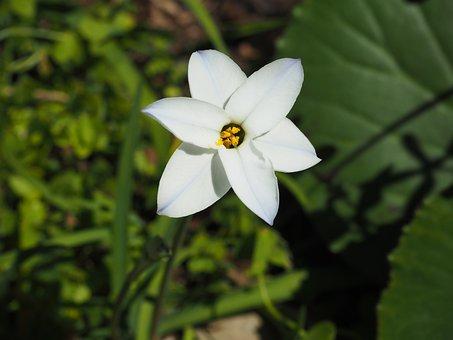 Flowers, Plant, White, Ipheion Uniflorum