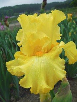 Flowers, Iris, German Iris