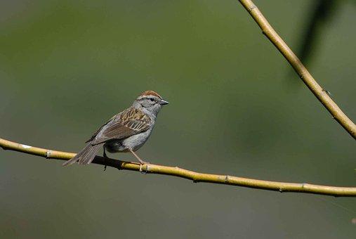 Sparrow, Bird, Passerina, Spizella, Birds, Animals