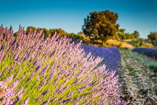 Levandula, Field, Country, Levandulové Field, Purple
