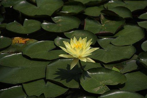 Lotus, Lotus Leaf, Yellow Lotus Leaf