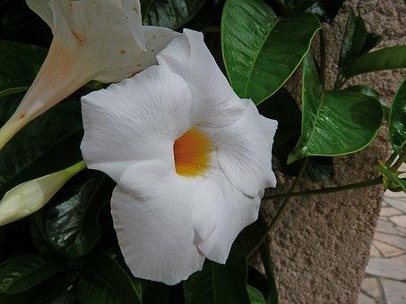 Diplodenia, Nature, Flowers, Macro, Garden