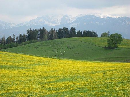 Allgäu, Spring, Lowenzahnwiese, Mountains