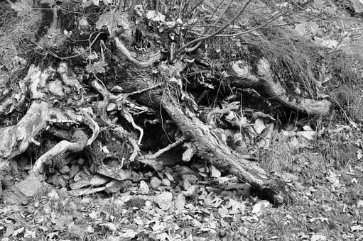 Root, Stones, Leaves, Black And White