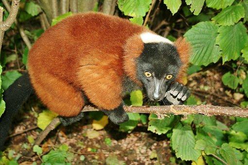 Languast, Mammal, Tree Dweller