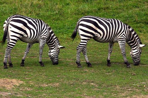 Zebra, Graze, Zoo