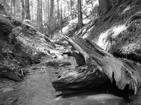 Water, Bach, Tree Root, Root, Wood, Black And White