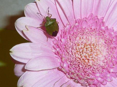 Sheildbug, Insect, Nature, Bug, Wildlife