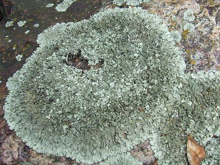 Lichen, Collema, Stone, Nature, Plant