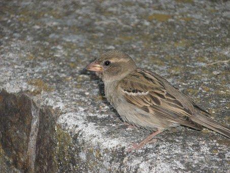 Sparrow, Birds, Female, Plumage