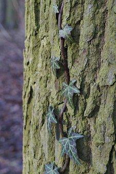 Marzena, Tree, Ivy, Foliage