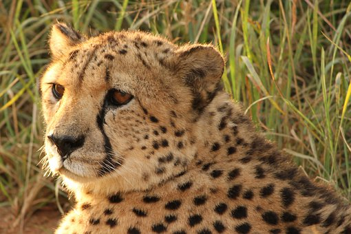 Cheetah, Namibia, Predator, Africa, Wild, Wild Animal