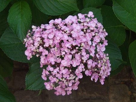 Hydrangea, Bauer Hydrangea, Flowers, Purple