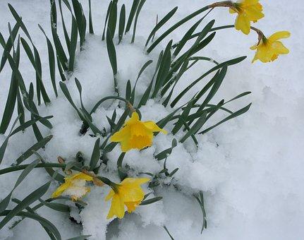 Flowers, Daffodils, Snow, Bloom, Blooming, Flora