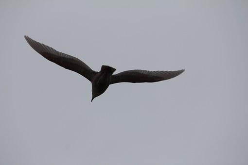 Havmåge, Seagull, Flying