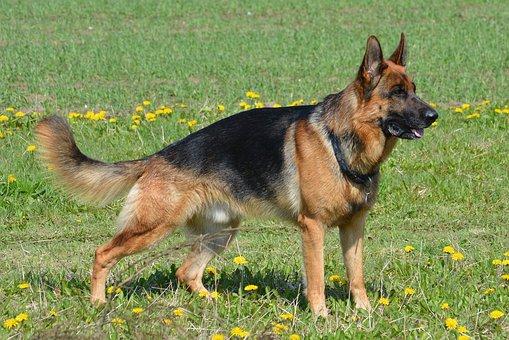 German Shepherd, Shepherd, Almind, Denmark
