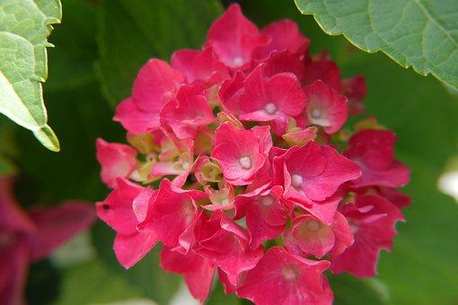 Hydrangea, Flowers, Red, Nature