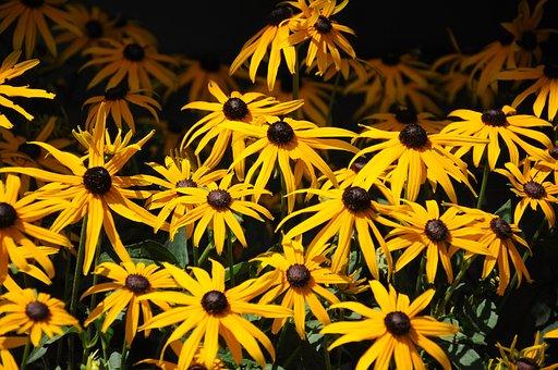 Daisies, Flowers, Nature, Summer, Schönried