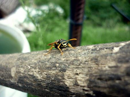 Wasp, Striped, Beetle