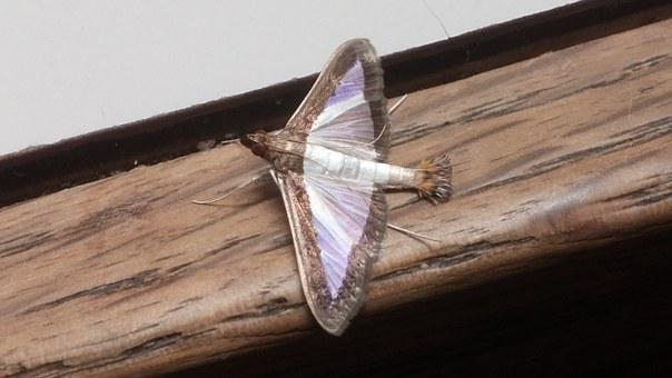 Melonworm Moth, Moth, Insect, Arthropod, Wings, Winged