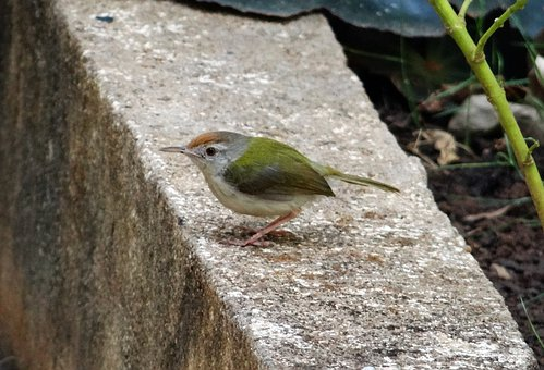 Common Tailorbird, Orthotomus Sutorius, Songbird, Bird