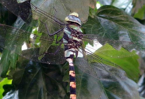 Dragonfly, Common Clubtail, Ictinogomphus Rapax, Insect