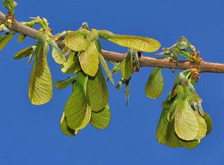 Nature, Maple, Saccarinum, Samare