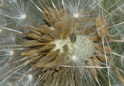 Nature, Tarassacum, Seeds
