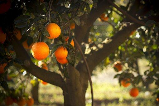 Oranges, Tree, Majorica, Nature