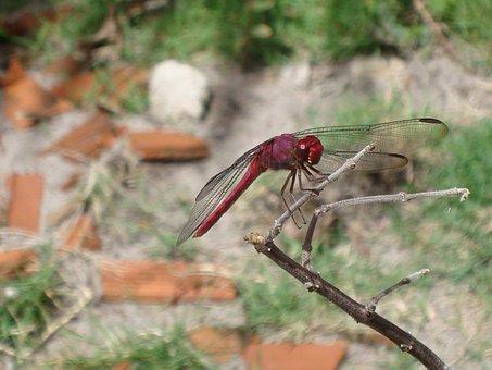 Dragonfly, Nature, Ziguezigue