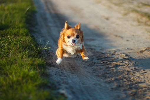 Chihuahua, Busya, Flight