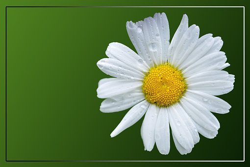 Magerite, Daisy, Blossom, Bloom, Composites, White