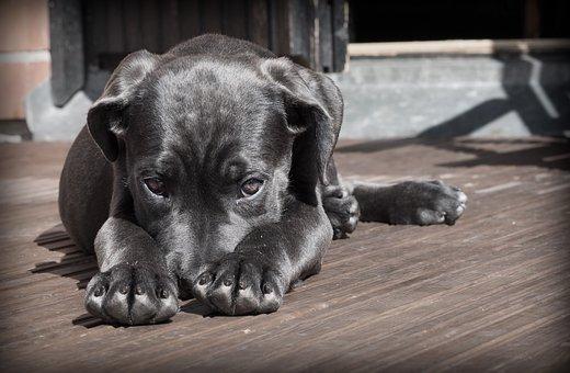 Pet, Dog, Puppy, The Shy, Cute, Animal, Cane Corso
