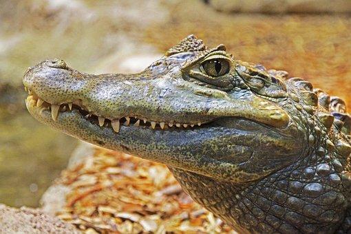 Alligator, Gator, Teeth, Close, Scary, Animal
