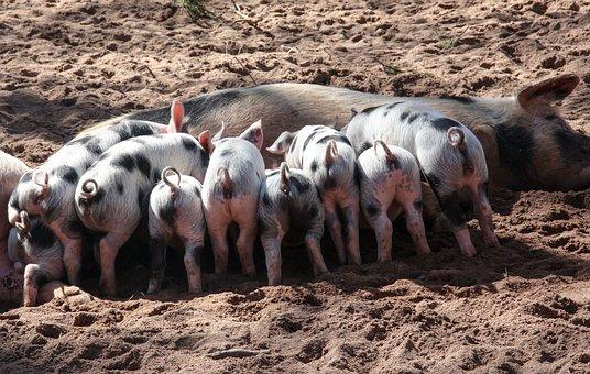 Pig, Domestic Pig, Suckle, Piglet, Animals, Pet