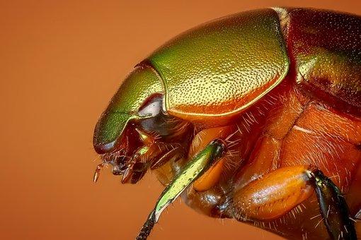 Beetle, Tropical Beetles, Insect, Macro, Bug