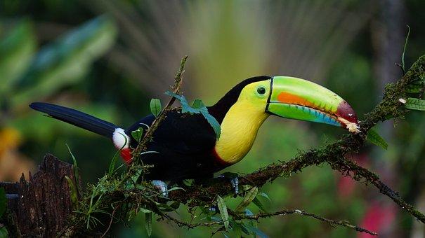 Keel Billed Toucan, Costa Rica, Bird, Rainforest