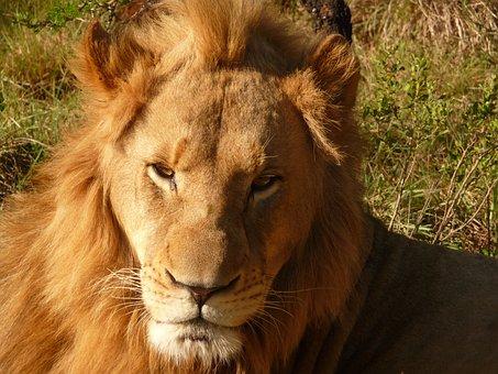 Lion, Africa, Safari, Botswana, Wildcat, Predator