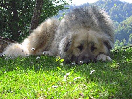Caucasian Lion, Dog, Pets, Sad, Outdoor, Grass