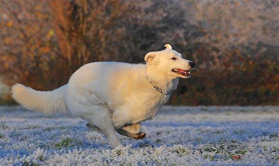 Swiss Shepherd Dog, Dog, Race, Frost, Winter, Cold