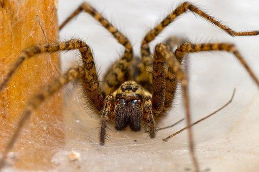 Spider, Pokoutník, Nest, Den, Macro, Detail, View