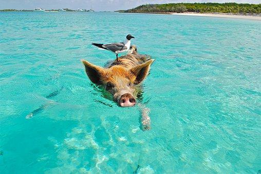 Staniel Cay, Swimming Pig, Seagull, Fish, Exumas